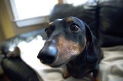 Bohkeh dell'estratto del primo piano del cucciolo del cane del weiner del bassotto tedesco Immagine Stock
