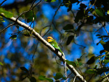 Bohm's Bee Eater Royalty Free Stock Images