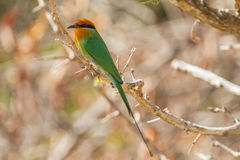 Bohm's Bee-eater (Merops boehmi) Stock Images