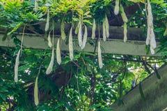Bohnen, die an einer Bohnenanlage auf dem Dach hängen Lizenzfreies Stockfoto