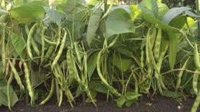 Bohnen, die im Garten wachsen 3 Sch?sse stock footage