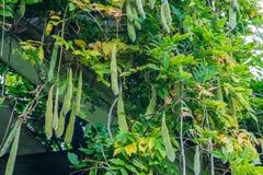 Bohnen in einem Baum im Abschluss oben Stockfotografie