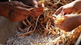 Bohnen, Hülse, Ernte, Getreide, landwirtschaftlich stock video