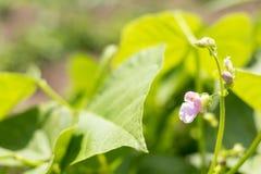 Bohnenanlagen und -blumen als sehr netter natürlicher Hintergrund stockfoto