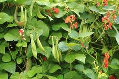 Bohnenbetriebsblumen stockfotografie