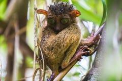 bohol海岛菲律宾tarsier结构树 库存照片