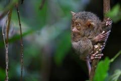 bohol海岛菲律宾tarsier结构树 免版税库存照片