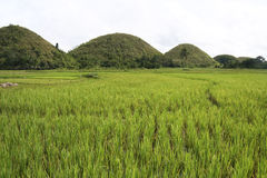 Bohol chocolate hills rice paddies philippines Royalty Free Stock Photos
