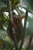 Bohol jungle tarsier monkey philippines Stock Image