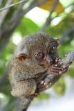 bohol mer tarsier philippines Royaltyfri Bild