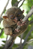 Bohol tarsier monkey philippines jungle Royalty Free Stock Photography
