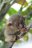 Bohol wild tarsier philippines jungle Royalty Free Stock Image