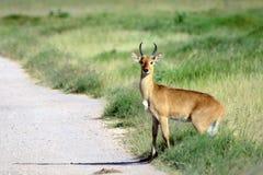 Bohor reedbuck, Amboseli National Park, Kenya. Bohor reedbuck in Amboseli National Park, Kenya Royalty Free Stock Photo