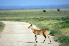 Bohor reedbuck, Amboseli National Park, Kenya. Bohor reedbuck in Amboseli National Park, Kenya Royalty Free Stock Photos
