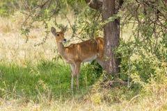 Bohor Reedbuck Female, Standing, Masai Mara. A female Bohor Reedbuck standing under acacia in Olare Orok Conservancy, bordering Masai Mara, Kenya. Very shy Royalty Free Stock Photos