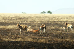 Bohor reedbuck. A group of bohor reedbucks in the serengeti park in tanzania Royalty Free Stock Photo