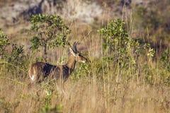 Bohor reedbuck in Kruger National park, South Africa. Specie Redunca redunca family of Bovidae Royalty Free Stock Image