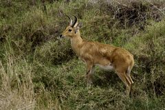 Bohor reedbuck, Serengeti Royalty Free Stock Photo