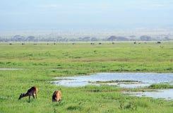 Bohor reedbucks, Amboseli National Park, Kenya. Bohor reedbucks in Amboseli National Park, Kenya Stock Images