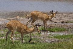 Bohor reedbucks, Tarangire Royalty Free Stock Photography