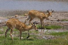 Bohor reedbucks, Tarangire. Bohor reedbucks (Redunca redunca), Tarangire National Park, Tanzania Royalty Free Stock Photography