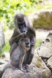 Bohren Sie, Mandrillus leucophaeus, das mit Jungen weiblich ist Lizenzfreies Stockfoto