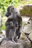 Bohren Sie, Mandrillus leucophaeus, das mit Jungen weiblich ist Stockbilder