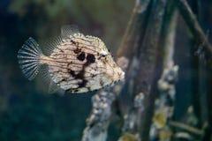 Bohrender beschmutzter Trunkfish unter dem Meer Lizenzfreie Stockfotografie
