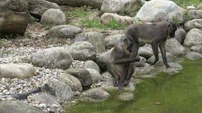 Bohrger?taffe, Mandrillus leucophaeus, stehend im Naturlebensraumbereich still Kritisch Tiere der bedrohten Art stock video