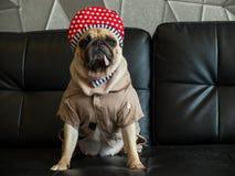Bohrte netter Pug Hund der Nahaufnahme mit Hip Hop-Hut auf schwarzem Sofa in der Seite des Raumblickes heraus, Zungenfriedensstif stockbild