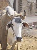 Boi da rua da Índia fotos de stock royalty free