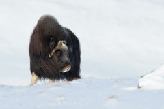 Boi de almíscares no inverno Fotos de Stock