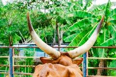 Boi do longhorn de Texas em Utá rural, EUA fotografia de stock royalty free