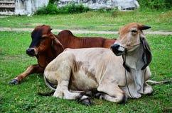 Boi em Tailândia Fotografia de Stock Royalty Free