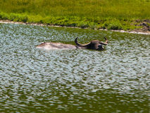 Boi na lagoa foto de stock royalty free