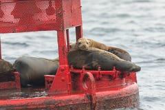 Boia do vermelho dos leões de mar Foto de Stock