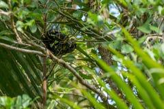 Boiga dendrophila, mangrove snake or gold-ringed cat snake curl royalty free stock photos