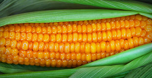Boiled corn in the peel Royalty Free Stock Image