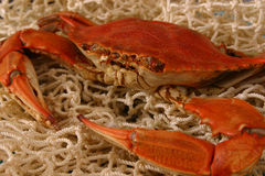 Boiled Crab Closeup Royalty Free Stock Image