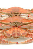 Boiled crab line up Stock Image