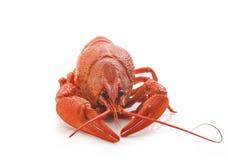 Boiled crawfish Royalty Free Stock Photo
