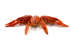 Boiled crawfish. Is isolated on a white background Royalty Free Stock Photo