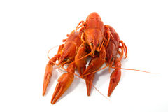 Boiled crawfish. Is isolated on a white background Royalty Free Stock Image