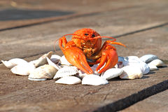 Boiled crawfish on a shells. Royalty Free Stock Photos