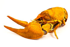 Boiled crayfish Stock Photo