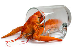 Boiled crayfish in a beer mug. Boiled crawfish in a beer mug, isolated on a white background Stock Photos