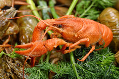 Boiled crayfish with dill Royalty Free Stock Photos