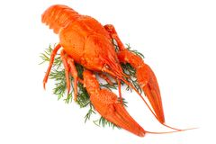 Boiled crayfish with dill isolated on white royalty free stock image
