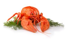 Boiled crayfish with dill isolated on white stock images
