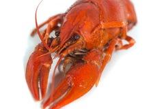 Boiled crayfish on isolate white background Royalty Free Stock Photo